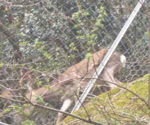 鹿でてきました