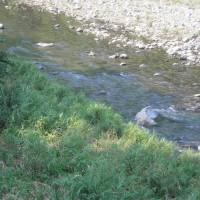 矢田川の鮎釣り